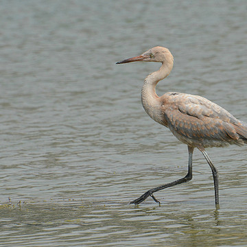 Reddish Egret Collection