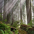 Redwoods Collection