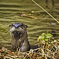 River Otter in Buffalo National River Collection