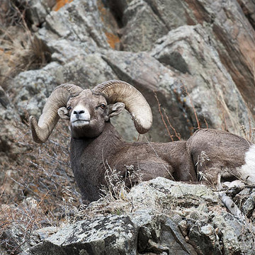 Rocky Mountain Big Horn Sheep Collection
