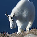 Rocky Mountain Goats Collection