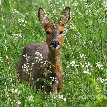 Roe Deer Collection
