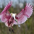 Roseate Spoonbills Collection