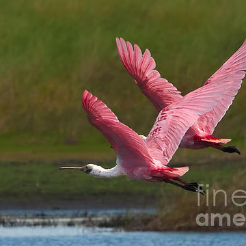 Roseatte Spoonbills Collection