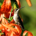 Ruby-throated Hummingbird Collection