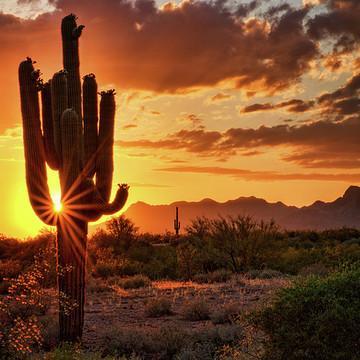 Saguaro Cactus Collection