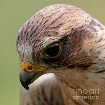 Saker Falcon Collection