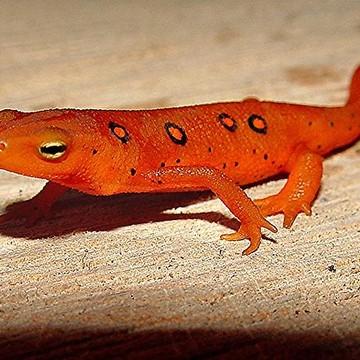Salamanders Collection