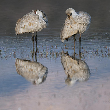 Sandhill Crane Collection
