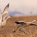Sandhill Cranes Collection