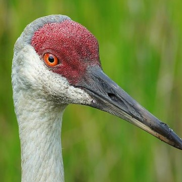Sandhill Cranes Collection