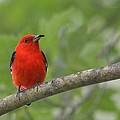 Scarlet Tanager Collection