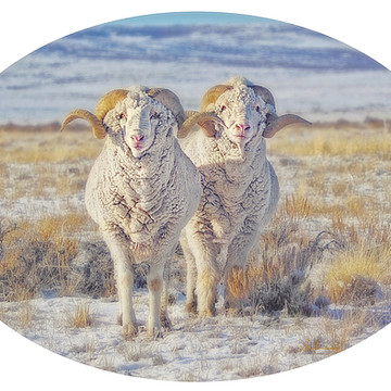 Sheep Rams and Lambs Collection