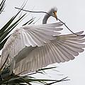 Shore Birds - Great Egret Collection