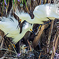 Shore Birds - Snowy Egret Collection