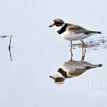 Shorebirds Collection