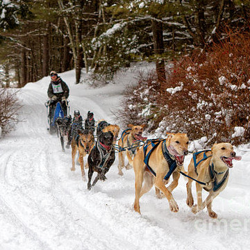 Sled Dogs Collection
