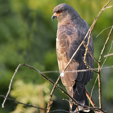 Snail Kite Collection