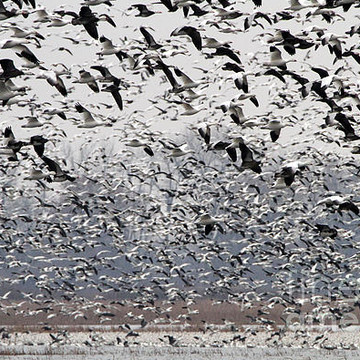 Snow geese Collection