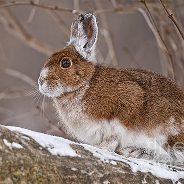 Snowshoe Hare Collection
