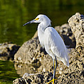 Snowy Egrets Collection