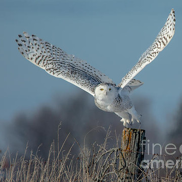 Snowy Owls Collection