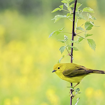 Song Birds Collection