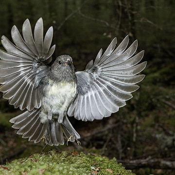 South Island Robin Collection