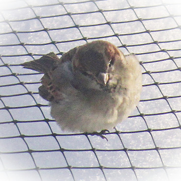Sparrow Little Bird Collection