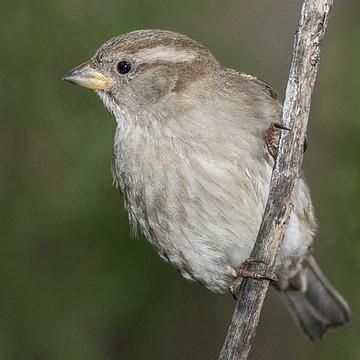 Sparrow Collection