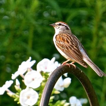 Sparrows Collection