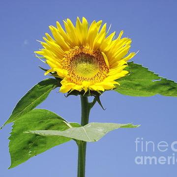 Sunflower Farm Collection