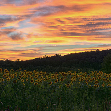 Sunflowers & Skies Collection