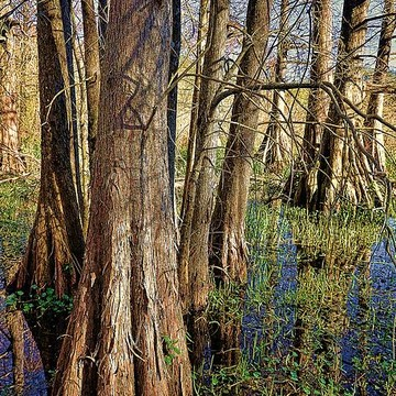 Swamp Scenes in Louisiana Collection
