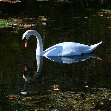 Swans Collection
