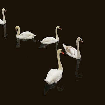 Swans On Collection