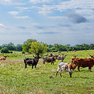 Texas Longhorn Cattle Collection