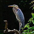 The Blue Heron Collection