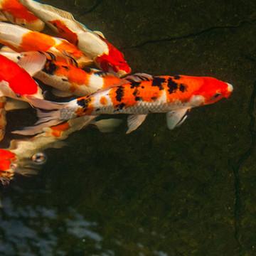 The Koi Pond Collection