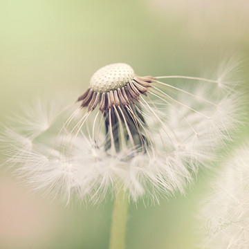 The Many Facets of Dandelion Collection