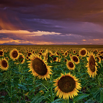 The Sunflowers of Colorado Collection