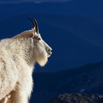 The Trail of the Mountain Goat Collection