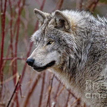 Timber Wolves Collection