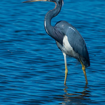 Tricolored Herons Collection