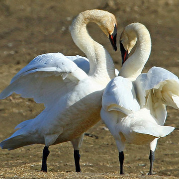 Trumpeter Swan Collection