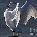 Trumpeter Swan Series
