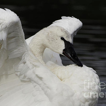 Trumpeter Swans Collection