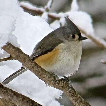 Tufted Titmouse Collection