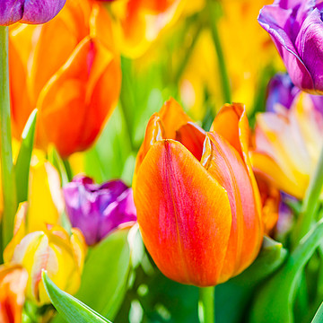 Tulips Enchanting Collection