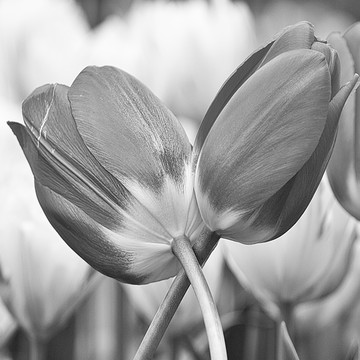 Tulips in B&W Collection